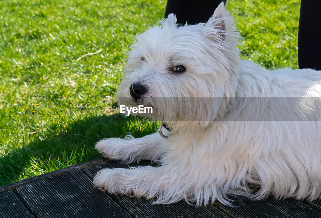 pets, domestic, one animal, dog, canine, animal themes, mammal, domestic animals, animal, vertebrate, west highland white terrier, white color, grass, animal hair, no people, hair, plant, day, relaxation, close-up, animal head