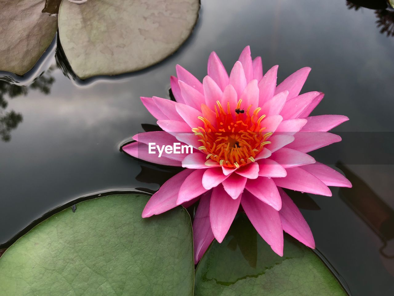 flower, petal, beauty in nature, nature, leaf, flower head, freshness, fragility, pink color, water lily, no people, lotus water lily, growth, close-up, pollen, day, water, floating on water, outdoors, plant, lotus, blooming, lily pad
