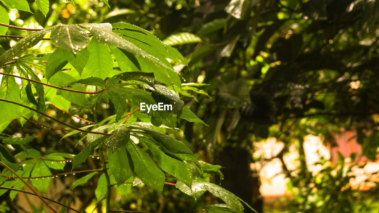 plant, growth, green color, leaf, plant part, tree, beauty in nature, focus on foreground, nature, day, close-up, no people, sunlight, tranquility, outdoors, branch, selective focus, water, wet, freshness, leaves, raindrop