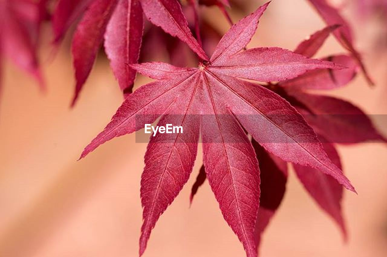 leaf, close-up, plant, nature, red, beauty in nature, flower, no people, day, fragility, flower head, outdoors, freshness