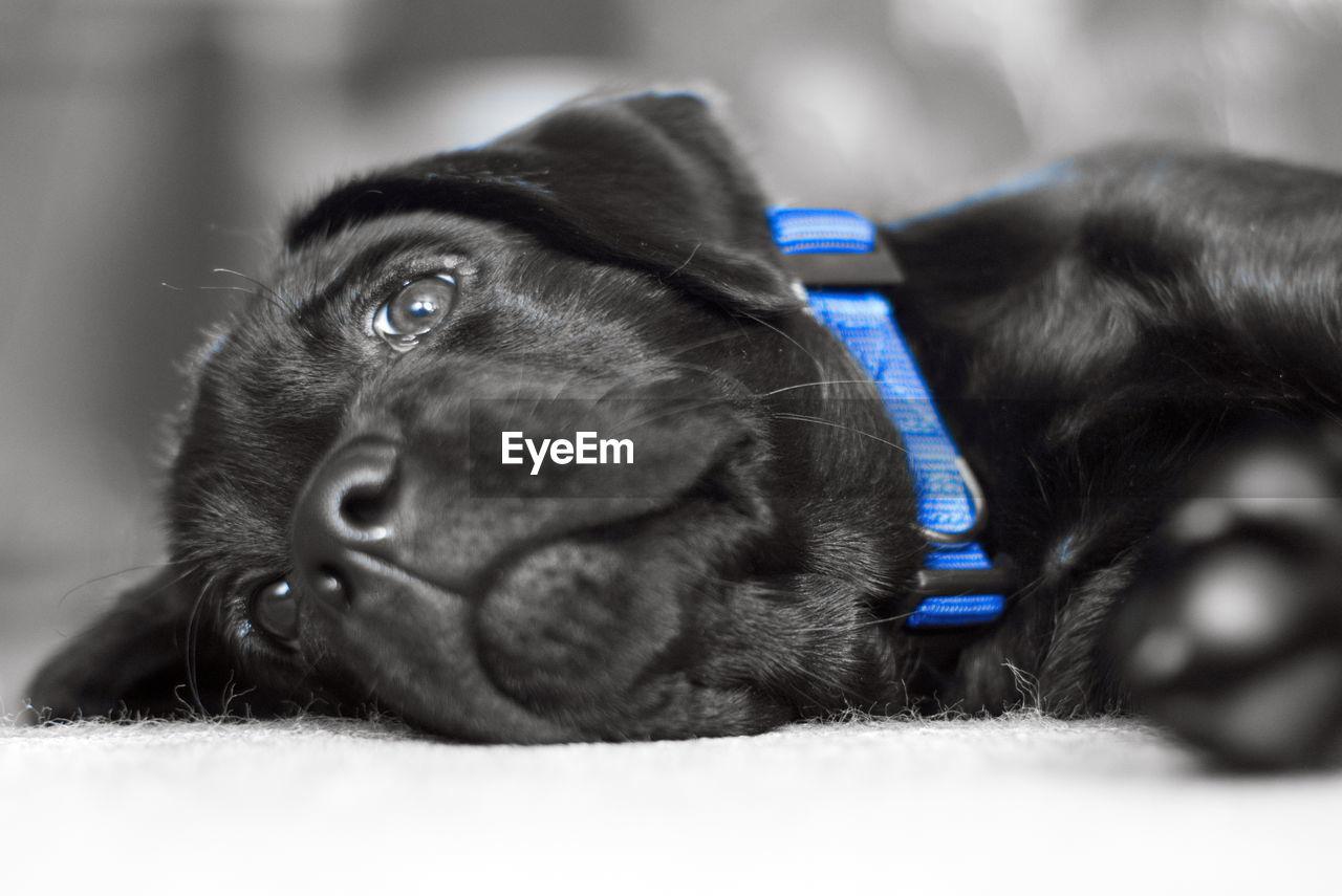 PORTRAIT OF BLACK DOG LYING DOWN