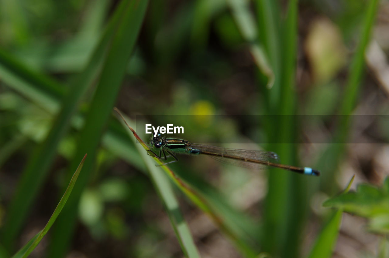 CLOSE-UP OF DRAGONFLY ON LEAF AGAINST BLURRED BACKGROUND