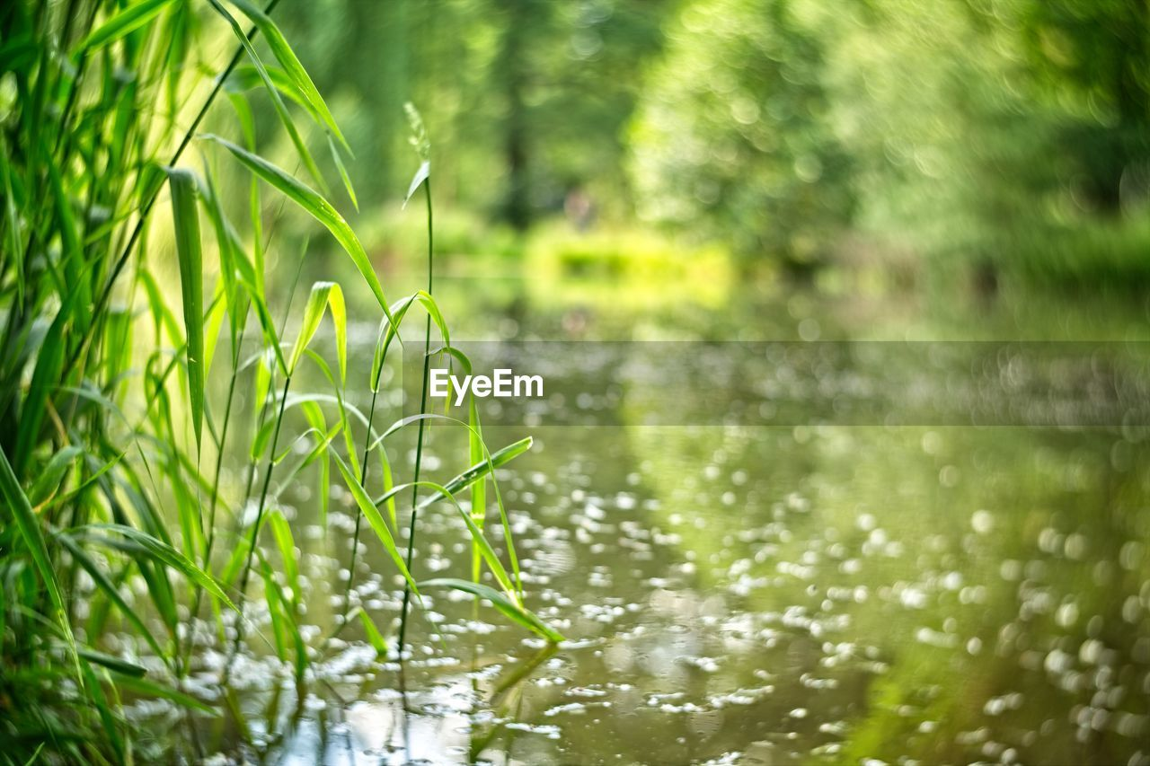 plant, growth, green color, nature, beauty in nature, water, day, no people, tranquility, grass, land, focus on foreground, field, close-up, outdoors, selective focus, wet, leaf, plant part, rain, blade of grass, bamboo - plant