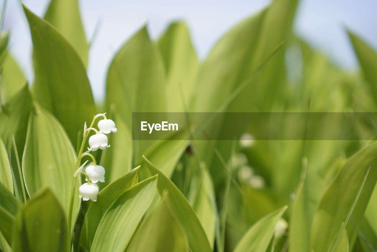 growth, green color, plant, nature, beauty in nature, white color, flower, leaf, fragility, petal, freshness, no people, outdoors, day, close-up, grass, snowdrop, blooming, flower head