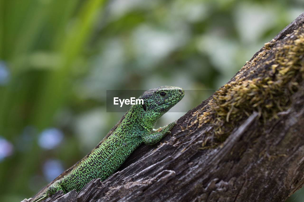 reptile, animal themes, one animal, animal wildlife, lizard, animal, animals in the wild, tree, vertebrate, green color, no people, plant, focus on foreground, close-up, tree trunk, textured, nature, trunk, day, selective focus, outdoors, animal scale, animal head, iguana