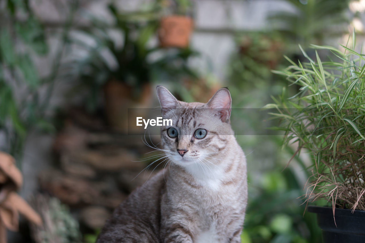 cat, feline, domestic cat, domestic, domestic animals, pets, mammal, one animal, vertebrate, portrait, focus on foreground, looking at camera, no people, whisker, day, plant, close-up, tabby