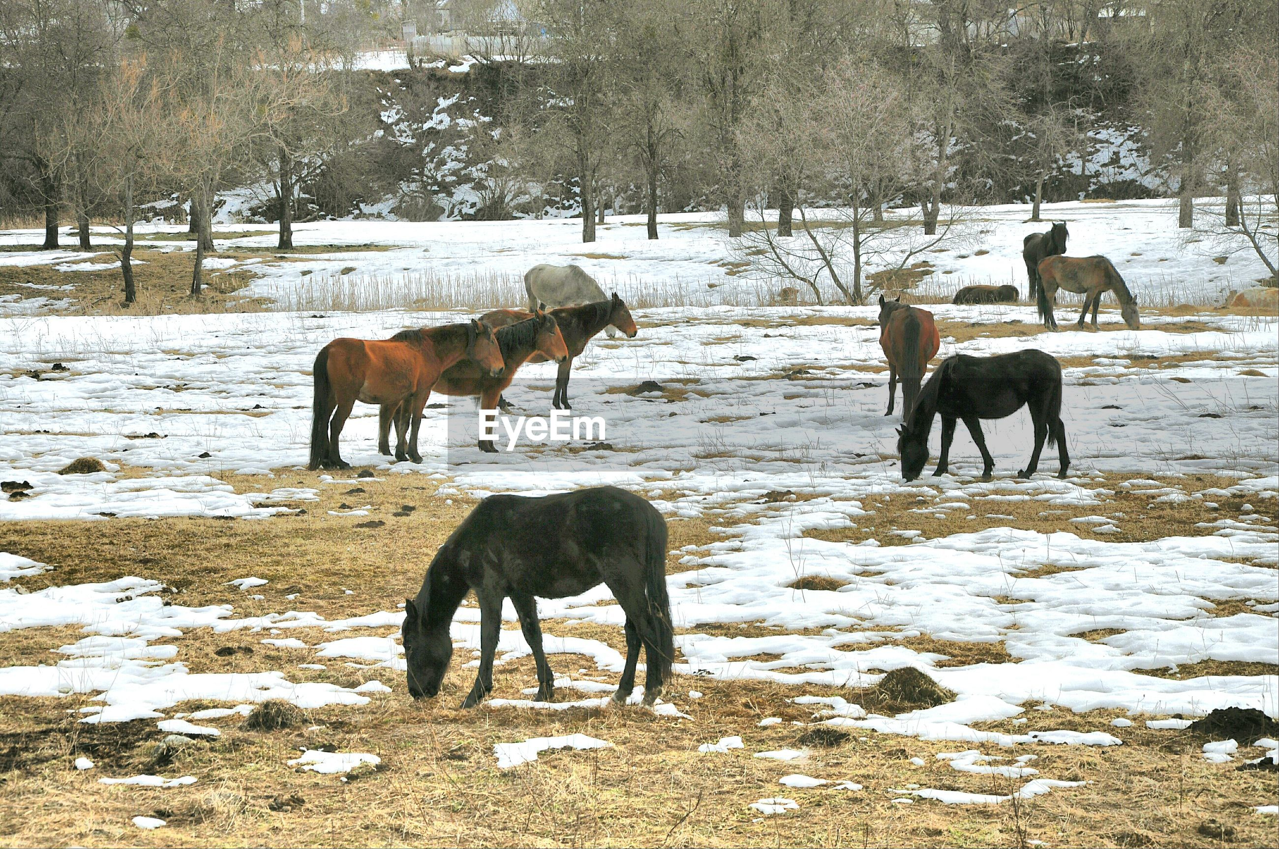 animal themes, domestic animals, livestock, mammal, standing, field, horse, medium group of animals, tree, herbivorous, togetherness, full length, walking, two animals, nature, landscape, grazing, sunlight, day