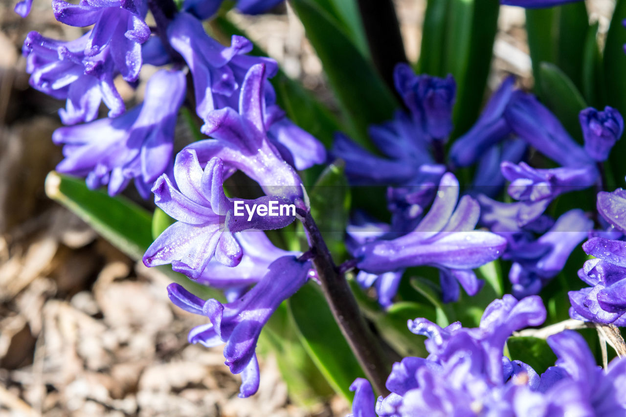 purple, flower, beauty in nature, petal, nature, fragility, growth, freshness, plant, close-up, no people, hyacinth, day, outdoors, selective focus, flower head, blooming, crocus