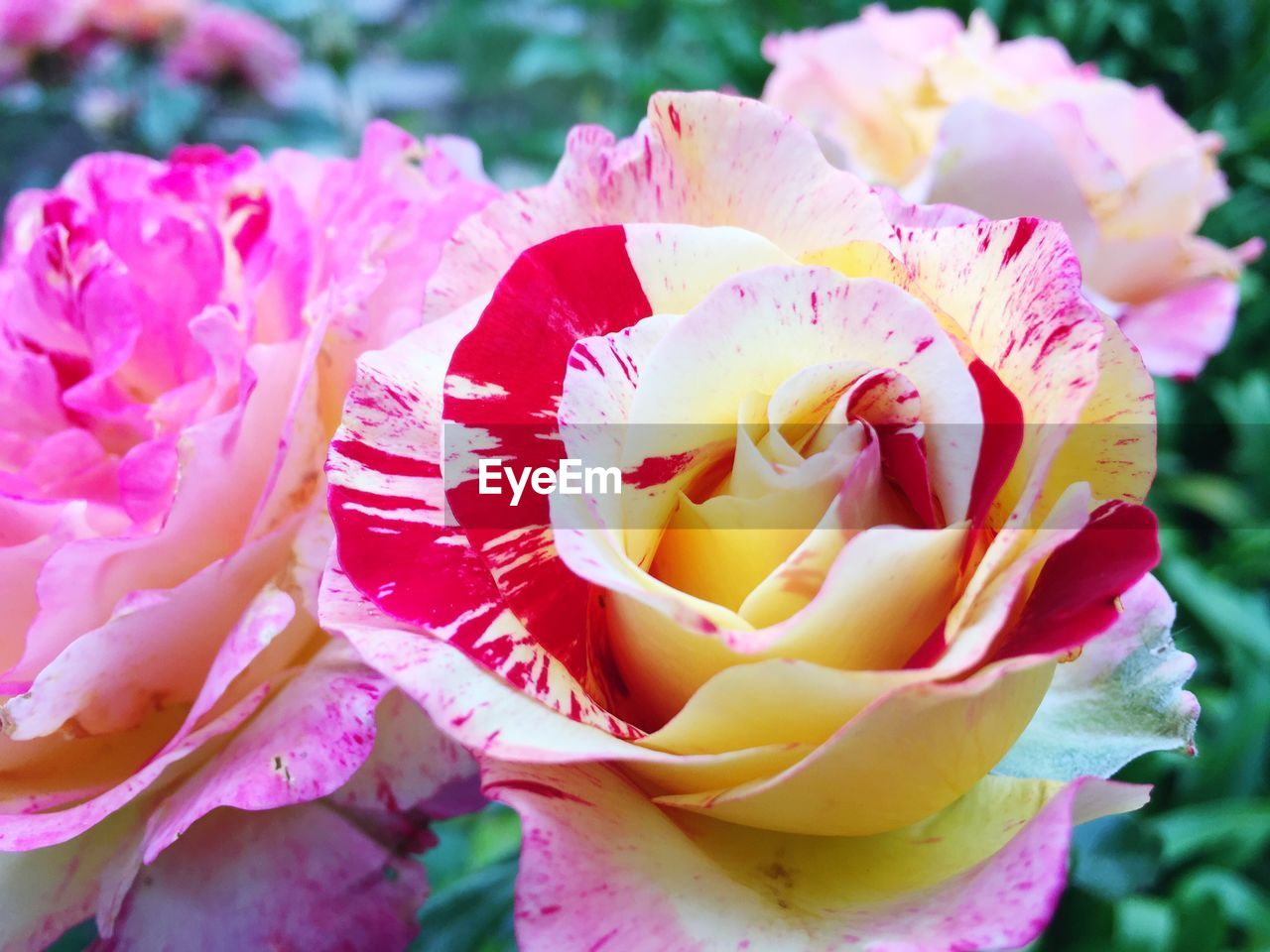 flower, flowering plant, beauty in nature, vulnerability, fragility, petal, plant, inflorescence, freshness, close-up, flower head, pink color, growth, nature, rose, focus on foreground, day, no people, rose - flower, outdoors, pollen, softness, flower arrangement, bouquet