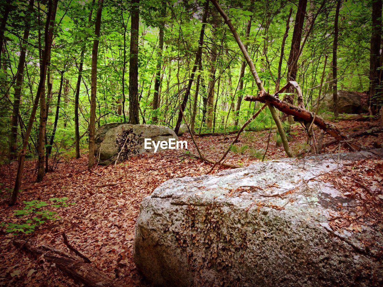 forest, nature, tree, tree trunk, no people, outdoors, day
