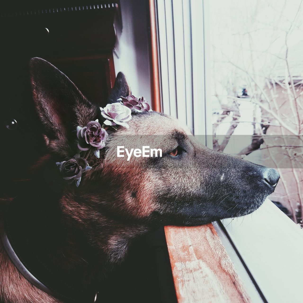 CLOSE-UP OF DOG WITH WINDOW ON FLOOR