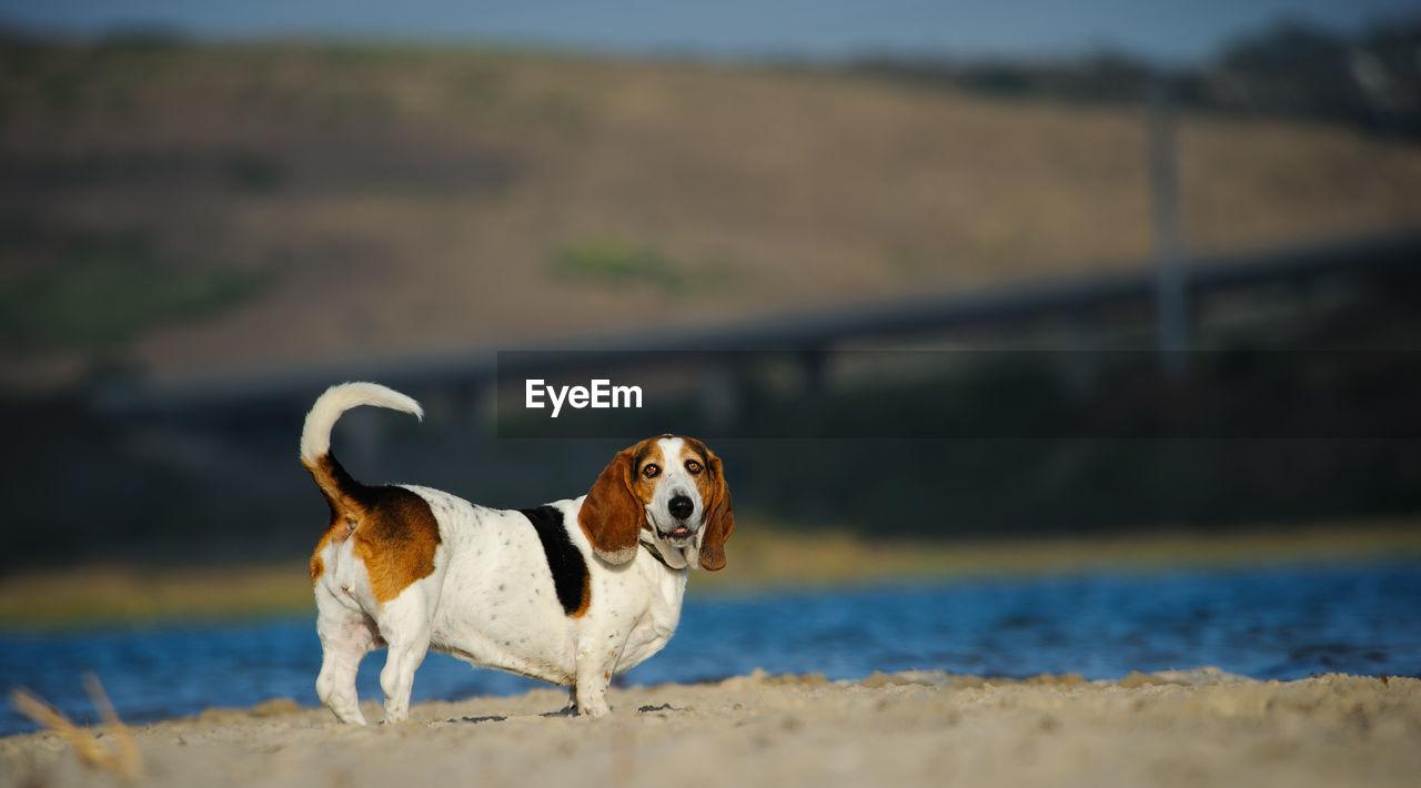 Portrait Of Basset Hound Dog Standing On Beach