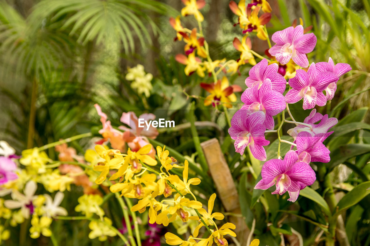 Close-up of pink and yellow orchids blooming in botanical garden