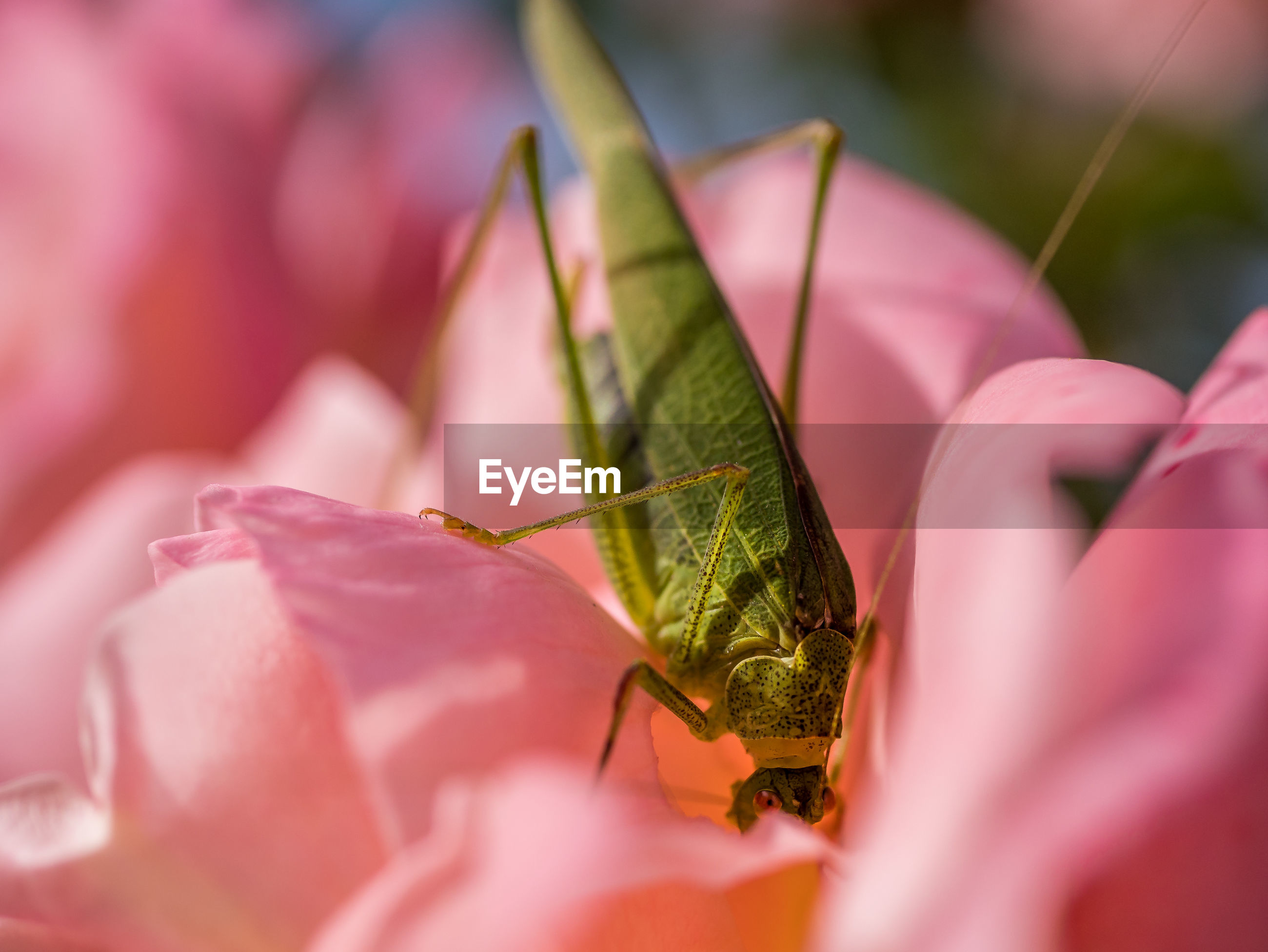 Close-up of pink rose with grasshopper