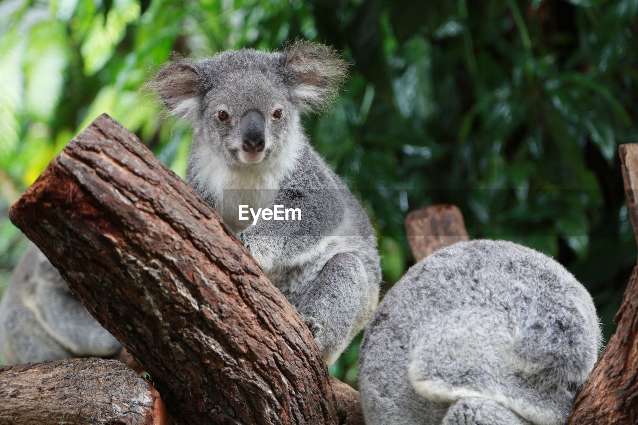 Koala resting on branch