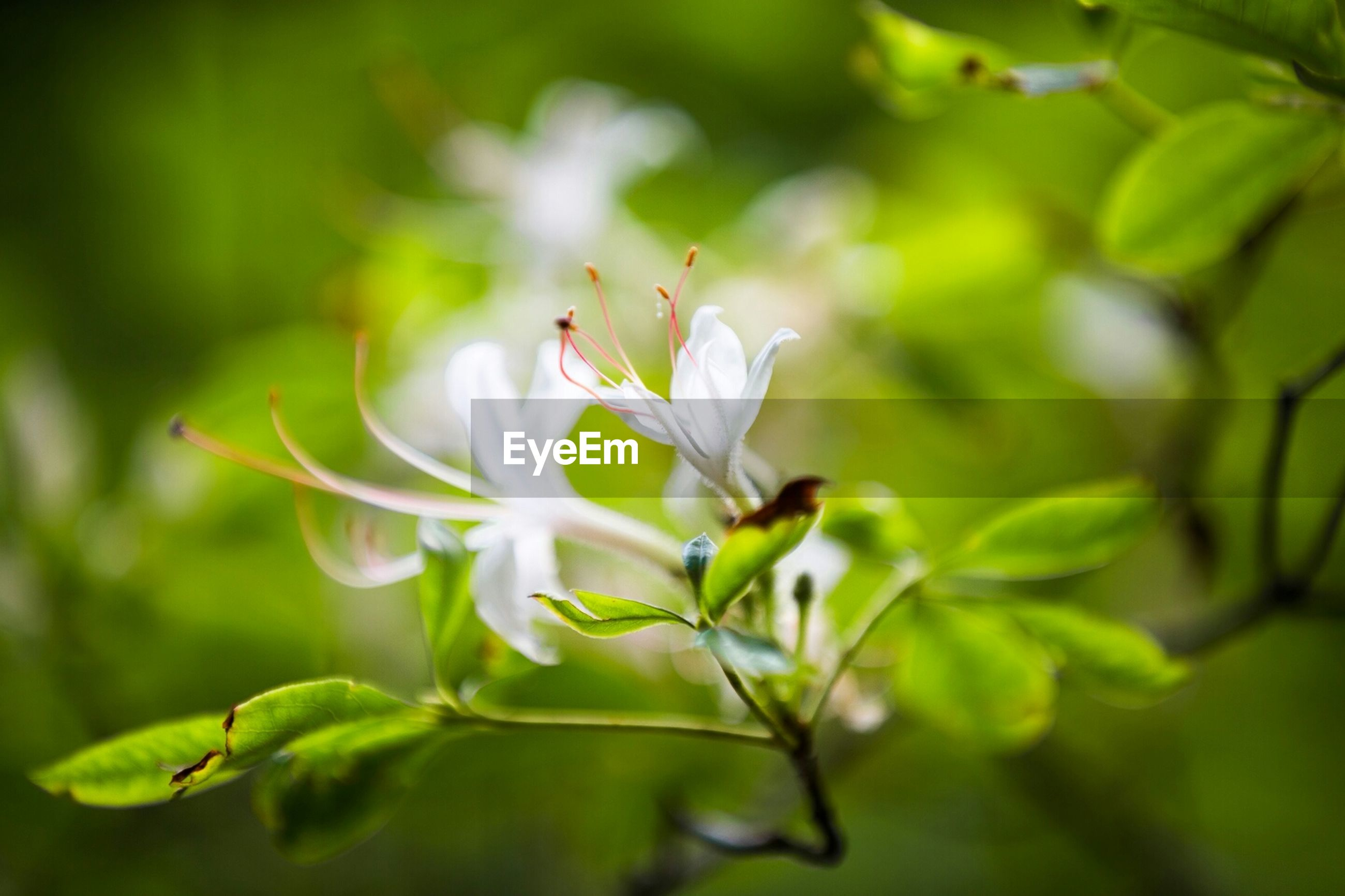 flower, growth, freshness, petal, white color, fragility, flower head, beauty in nature, close-up, nature, focus on foreground, blooming, plant, leaf, in bloom, selective focus, white, stamen, blossom, stem