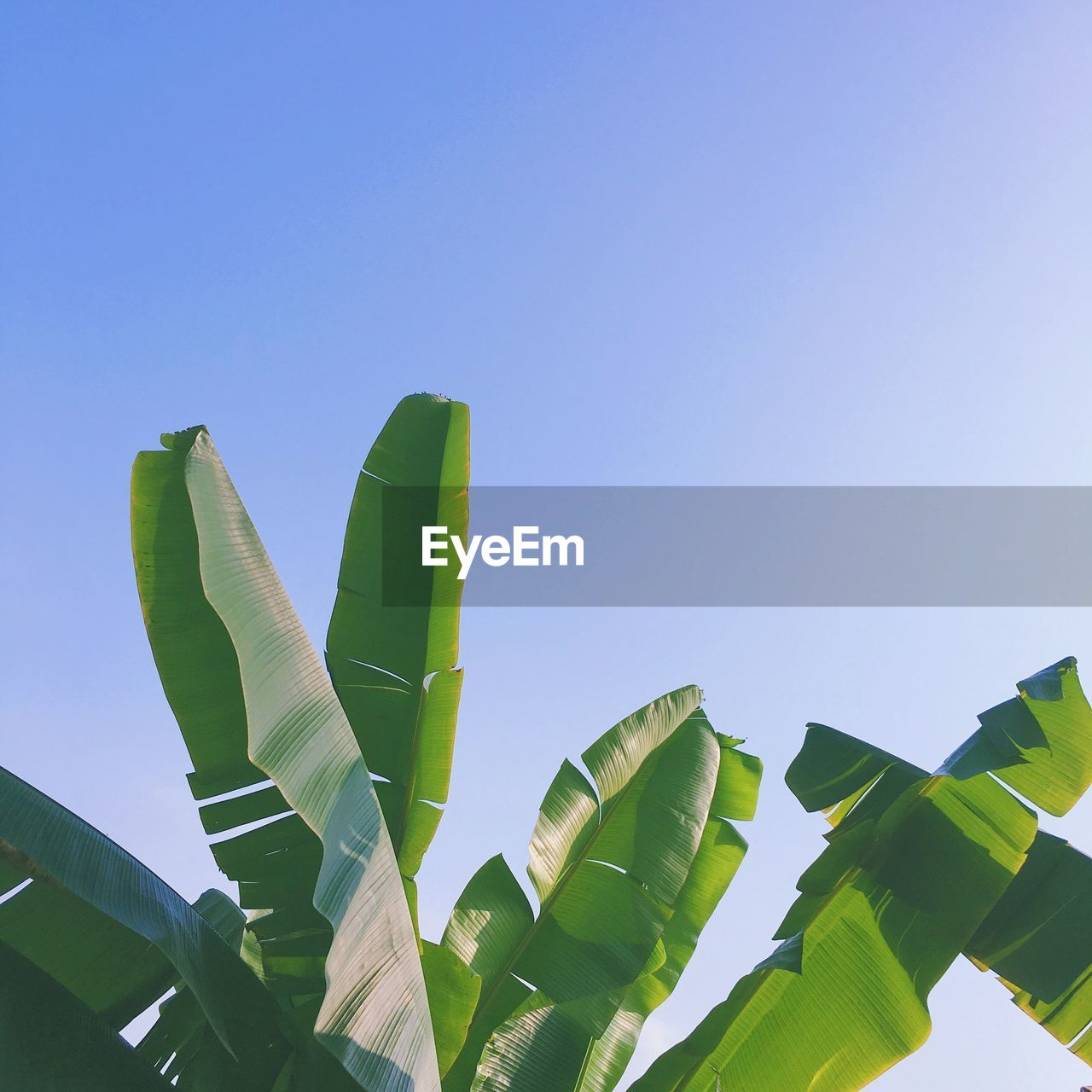 green color, leaf, copy space, growth, low angle view, clear sky, banana tree, outdoors, banana leaf, no people, day, nature, beauty in nature, blue, plant, close-up, freshness, sky