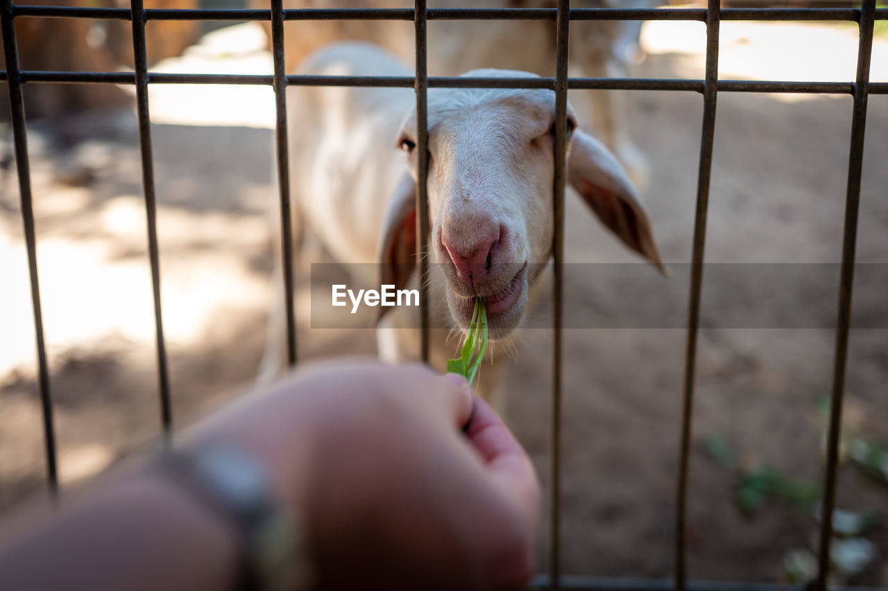 animal themes, animal, human hand, one animal, hand, mammal, pets, domestic animals, domestic, vertebrate, human body part, one person, selective focus, boundary, animal body part, fence, close-up, livestock, barrier, day, animal head, finger, animal mouth, snout