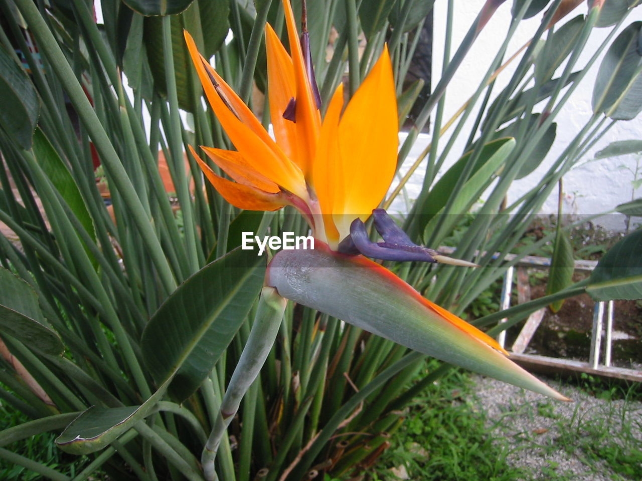 flower, growth, beauty in nature, petal, nature, freshness, fragility, orange color, bird of paradise - plant, flower head, plant, leaf, blooming, day, no people, green color, close-up, outdoors