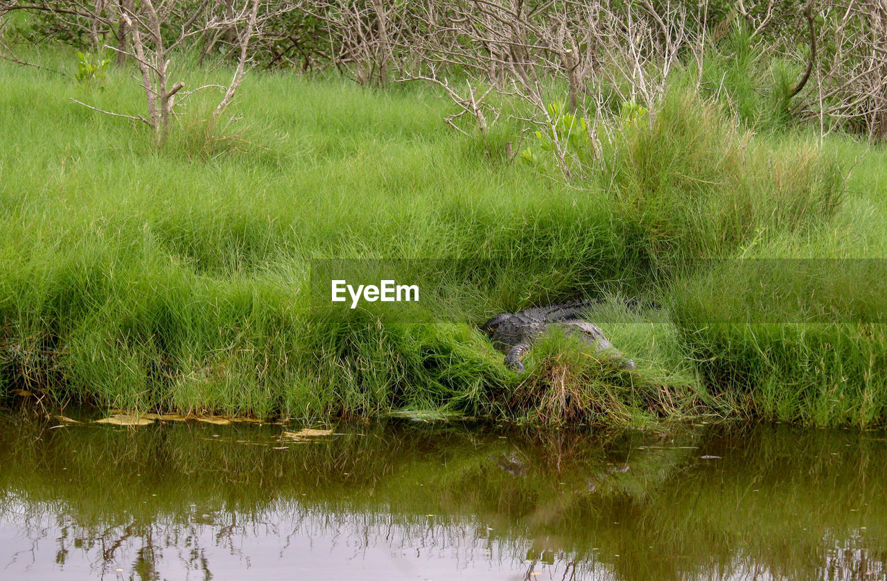 water, plant, animal themes, grass, one animal, animal, animal wildlife, green color, nature, lake, animals in the wild, crocodile, no people, vertebrate, reflection, waterfront, day, mammal, growth, outdoors, swamp