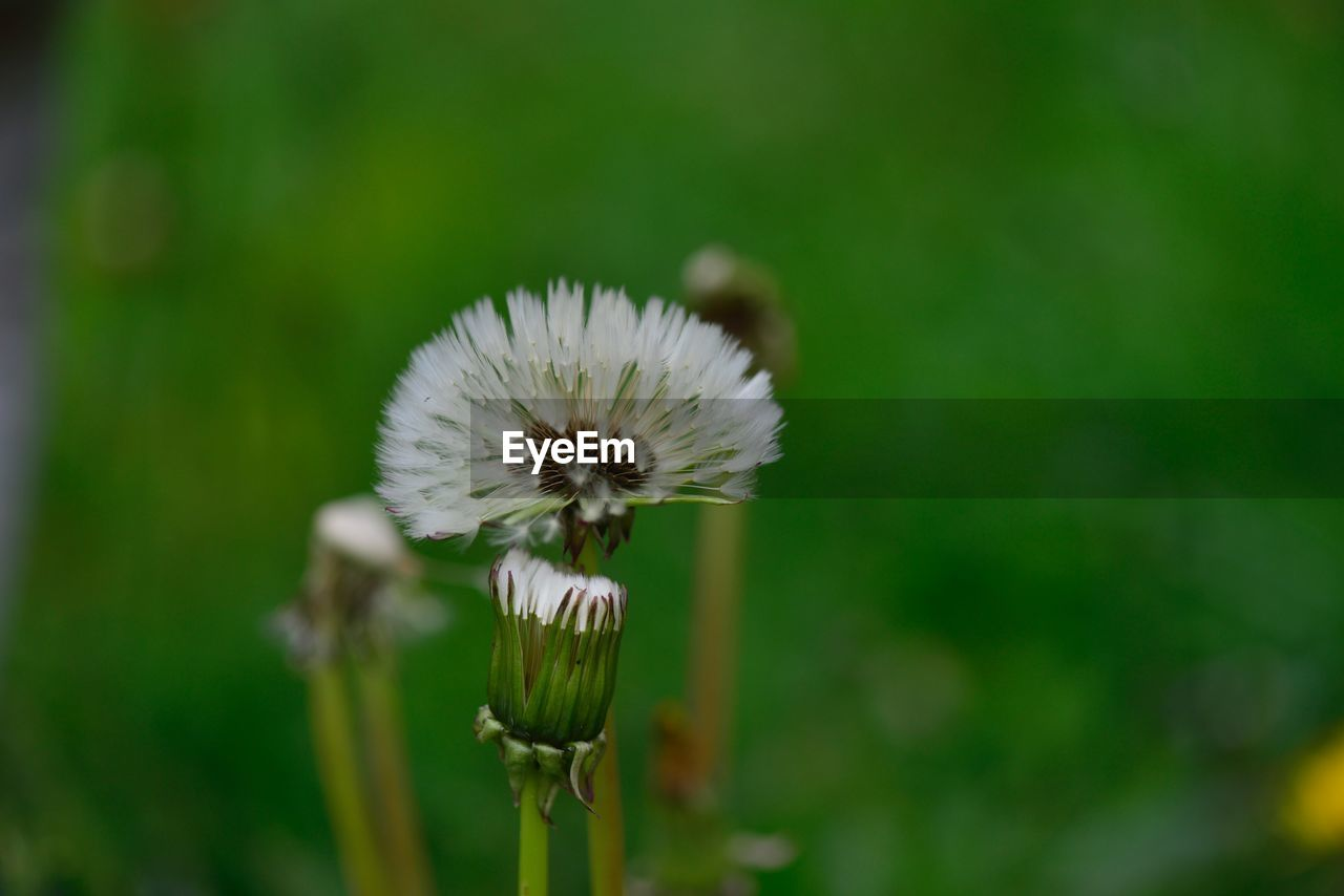flower, flowering plant, fragility, vulnerability, plant, growth, beauty in nature, freshness, flower head, inflorescence, close-up, focus on foreground, petal, plant stem, white color, nature, no people, day, dandelion, dandelion seed, pollination