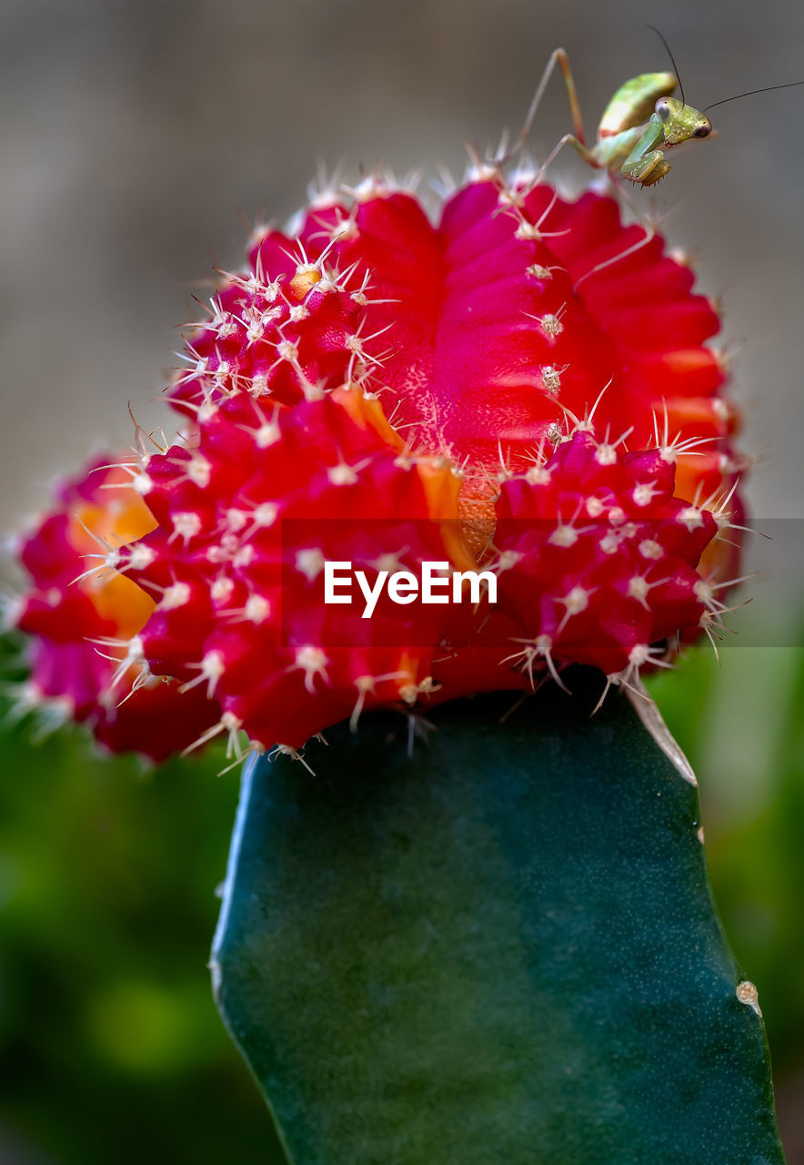 flower, growth, nature, focus on foreground, fragility, close-up, beauty in nature, no people, plant, cactus, flower head, petal, freshness, day, outdoors, red, blooming