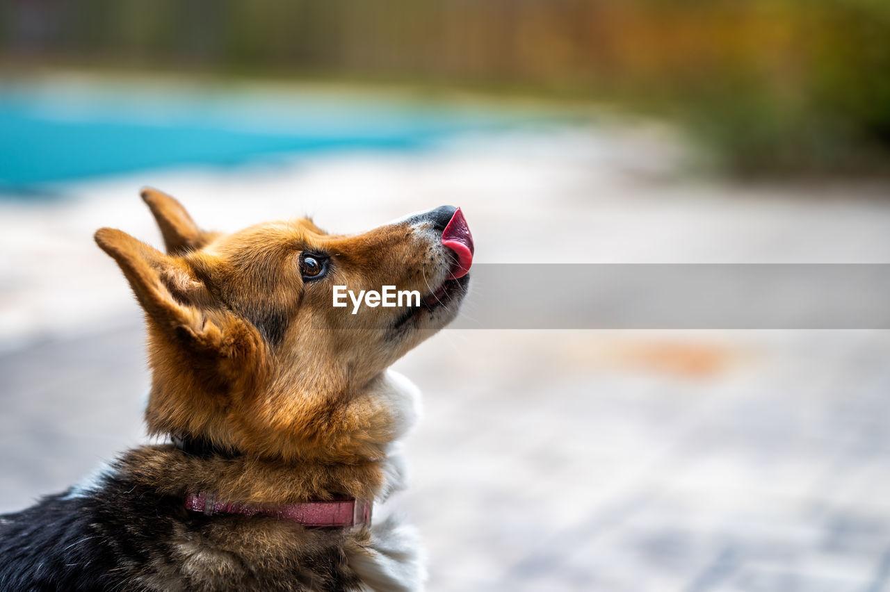 Close-up of a dog looking away. corgi
