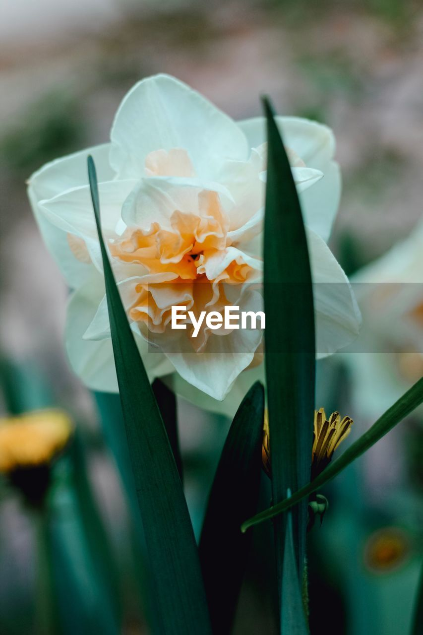 flowering plant, flower, freshness, plant, petal, beauty in nature, vulnerability, fragility, close-up, growth, inflorescence, flower head, nature, focus on foreground, no people, day, selective focus, outdoors, yellow, daffodil