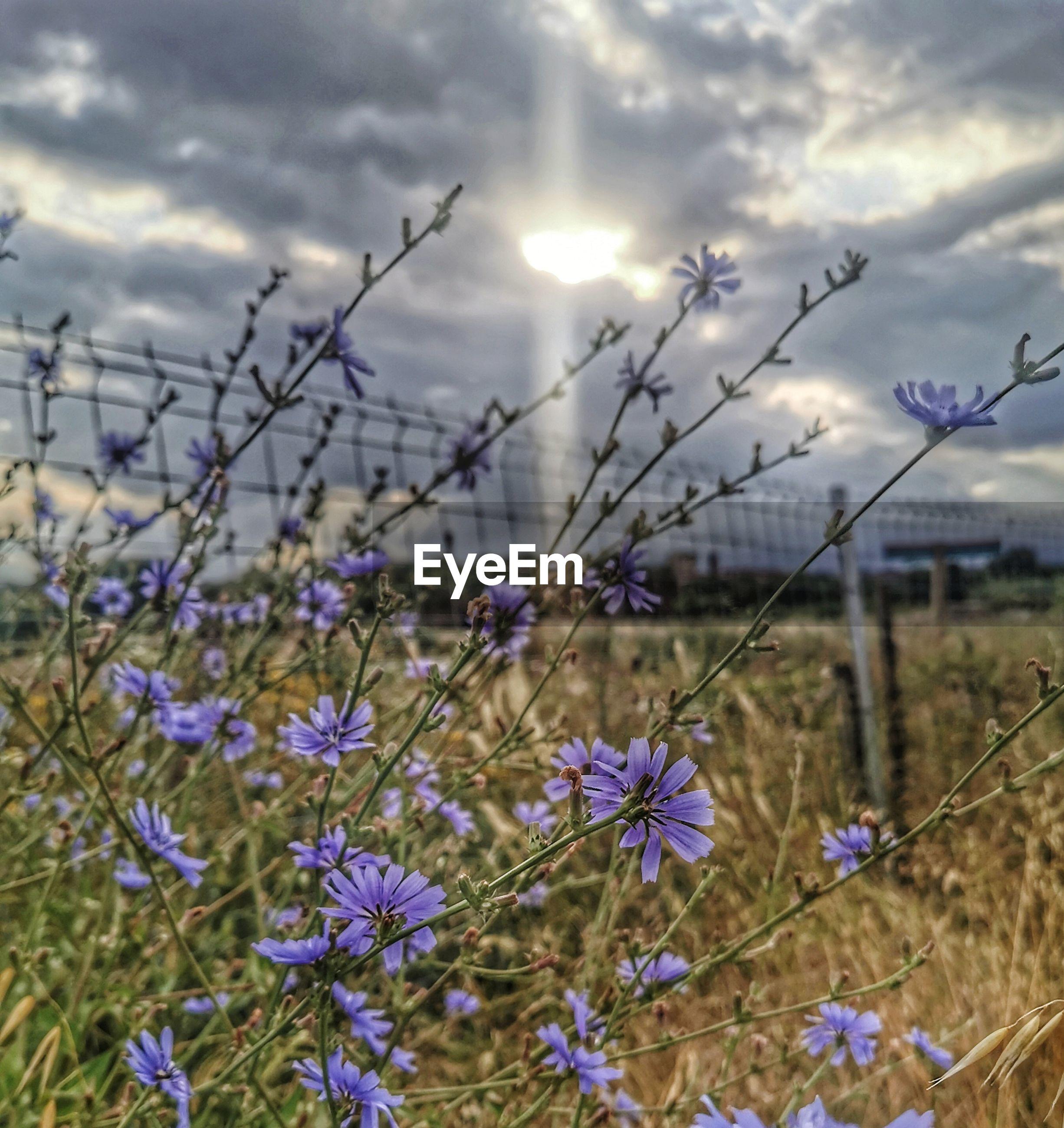 VIEW OF PURPLE FLOWERS ON FIELD