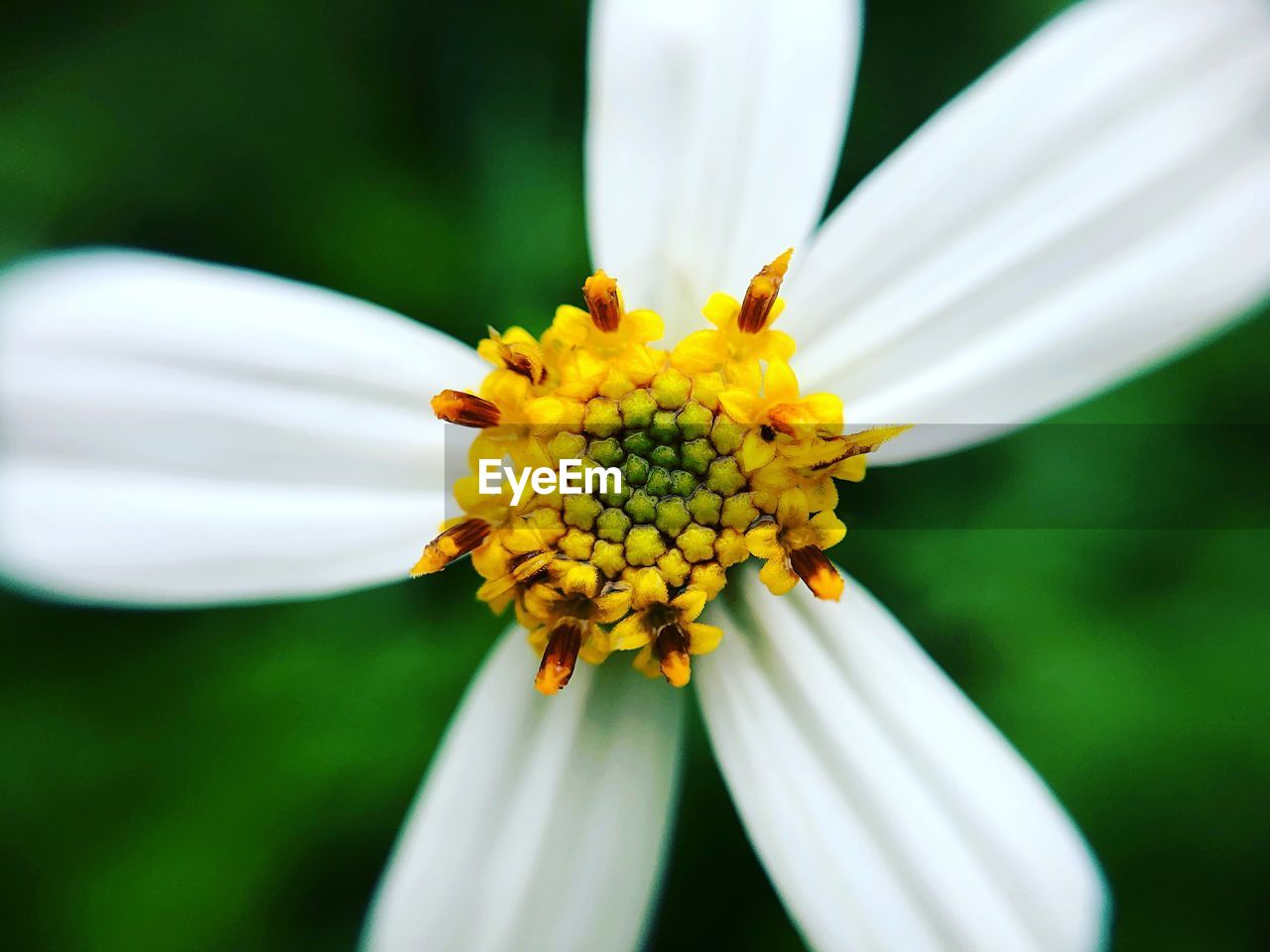 flowering plant, flower, fragility, vulnerability, freshness, plant, petal, flower head, growth, beauty in nature, inflorescence, close-up, yellow, pollen, white color, nature, day, focus on foreground, no people, outdoors, gazania