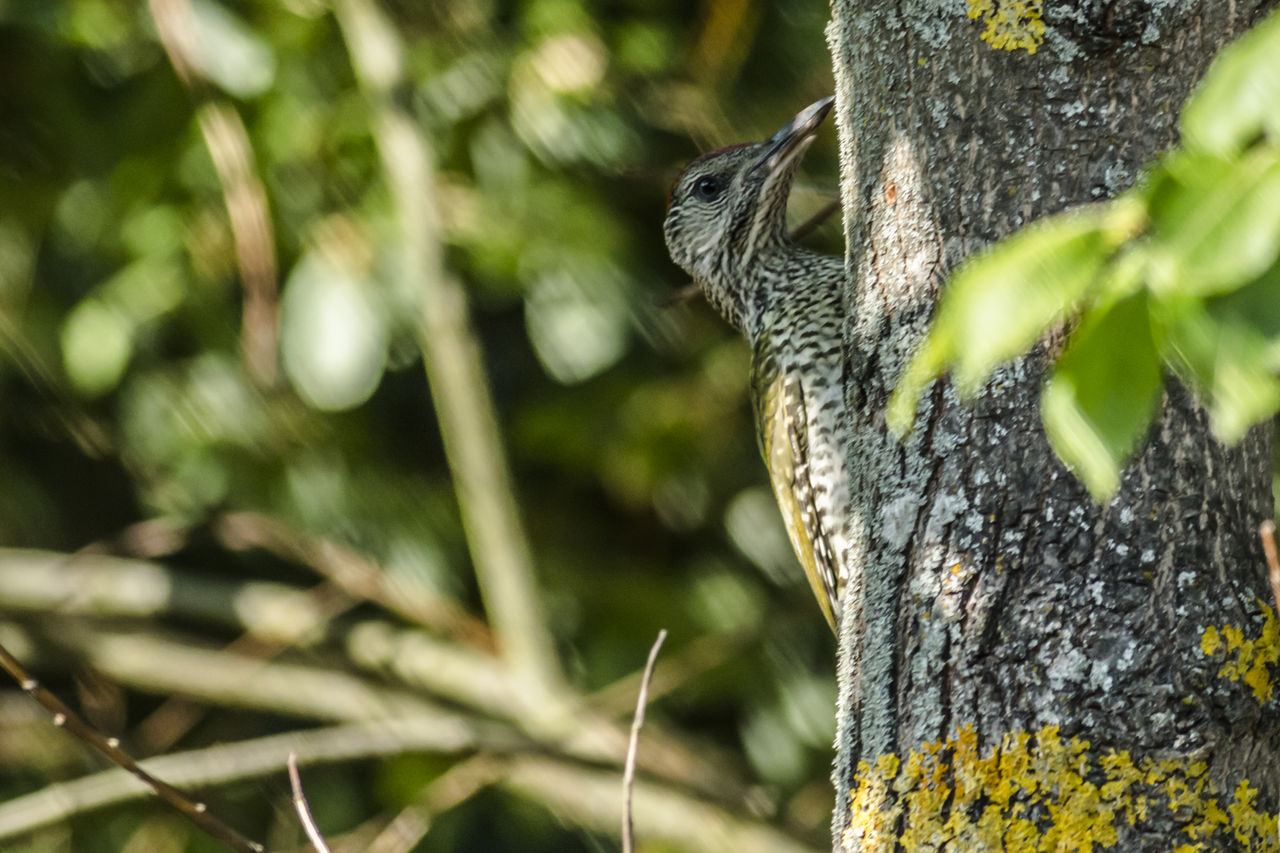 one animal, plant, animal themes, animal, animal wildlife, tree, animals in the wild, tree trunk, trunk, close-up, nature, vertebrate, no people, day, mammal, focus on foreground, rodent, selective focus, growth, squirrel, outdoors, animal head