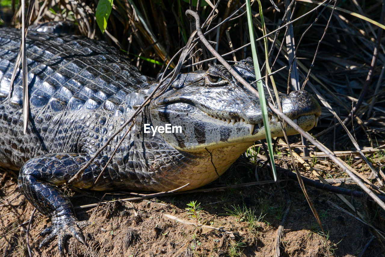 one animal, animal, animal themes, animal wildlife, animals in the wild, vertebrate, nature, day, reptile, animal body part, no people, crocodile, land, close-up, field, animal head, relaxation, plant, sign, outdoors, animal eye, animal scale