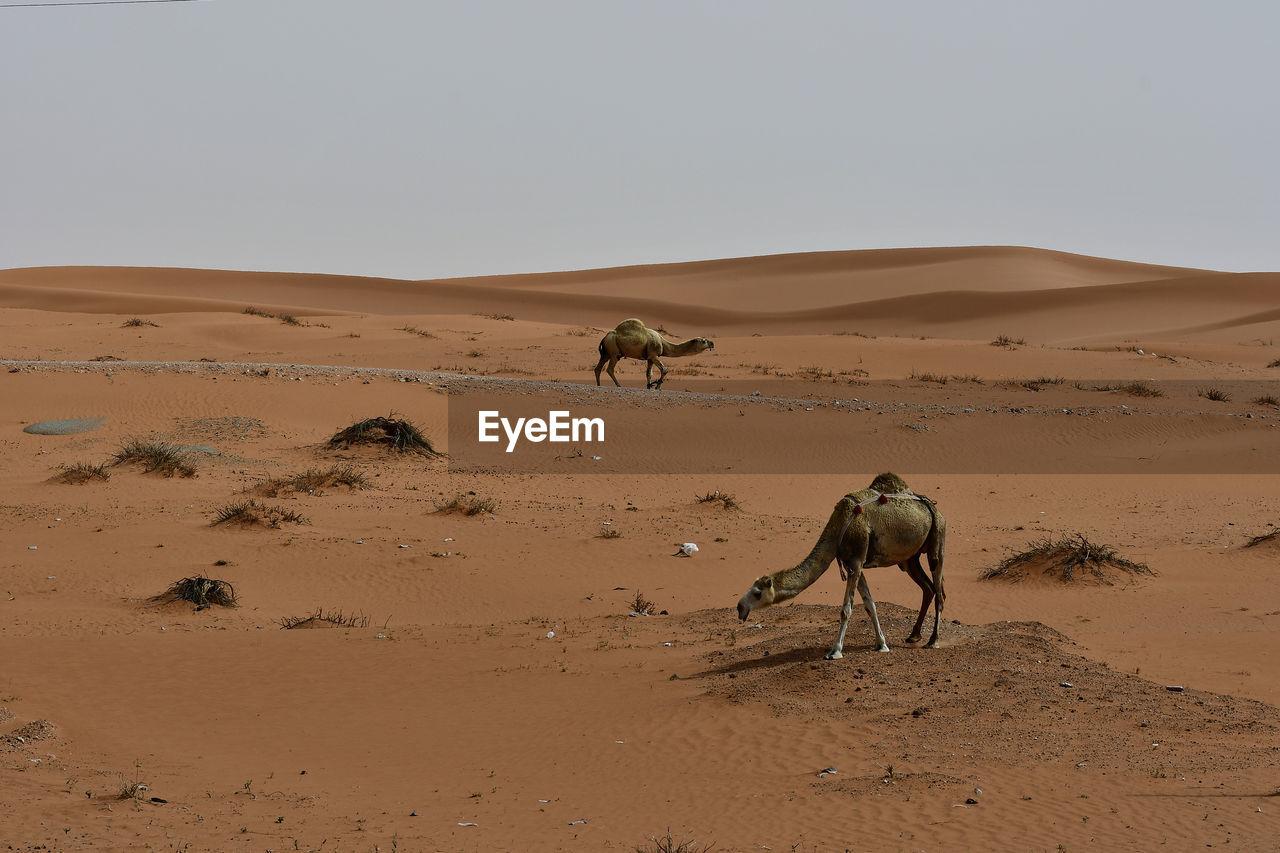 Camels On Desert Against Clear Sky