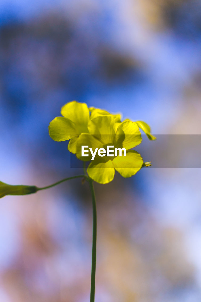 flower, yellow, nature, fragility, beauty in nature, growth, petal, freshness, plant, day, focus on foreground, outdoors, no people, close-up, flower head, blooming