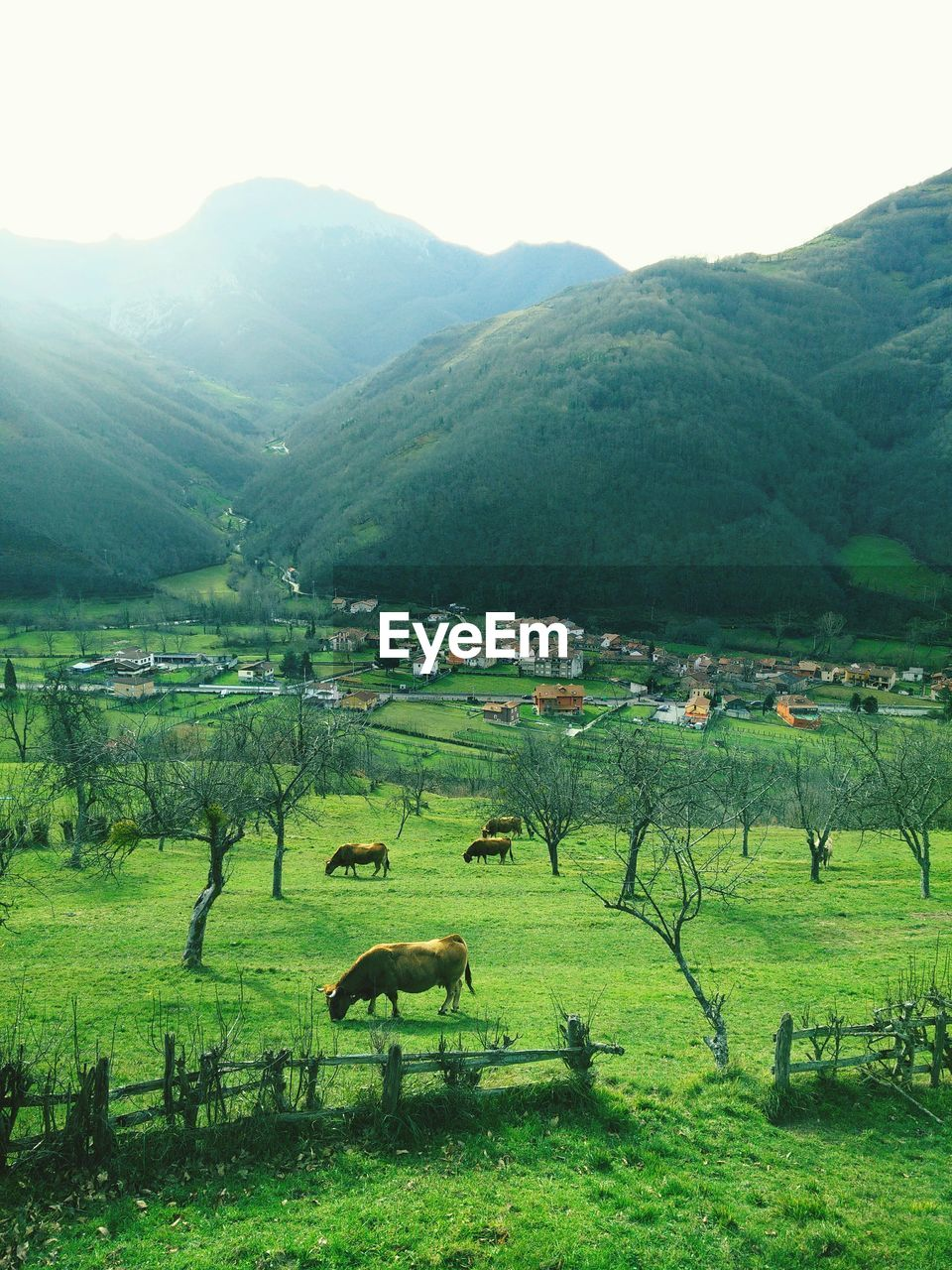 Cows Grazing On Grassy Field Against Green Mountains