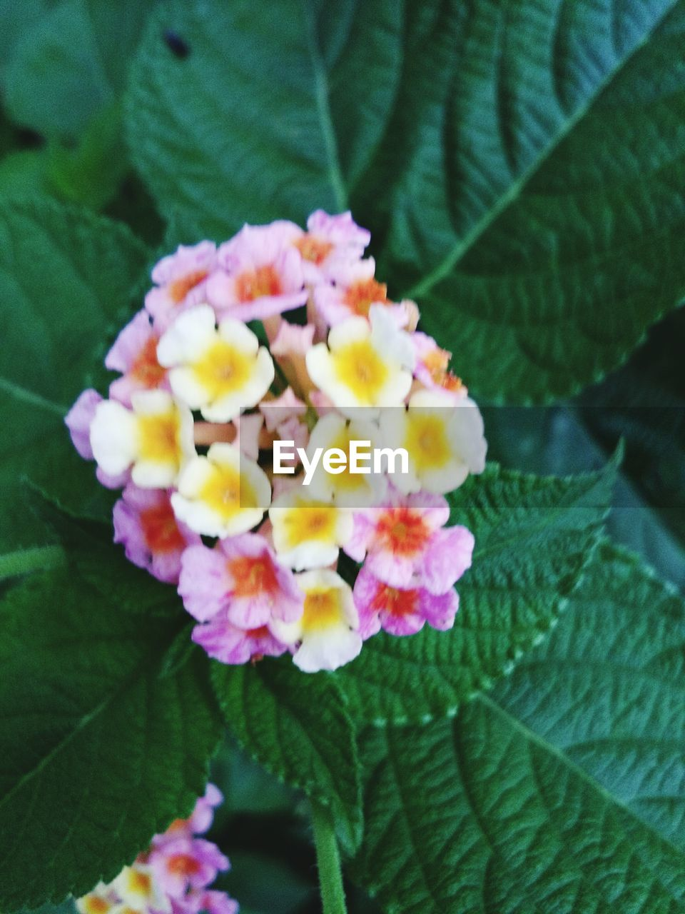 flower, leaf, beauty in nature, fragility, freshness, nature, lantana camara, growth, petal, plant, flower head, day, outdoors, no people, close-up, blooming