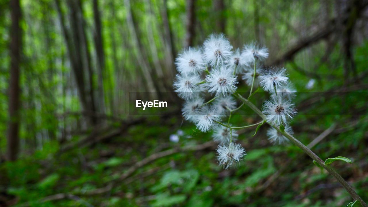 plant, fragility, vulnerability, beauty in nature, land, growth, freshness, flowering plant, flower, nature, day, white color, no people, close-up, focus on foreground, dandelion, tree, forest, selective focus, inflorescence, flower head, softness, outdoors, dandelion seed