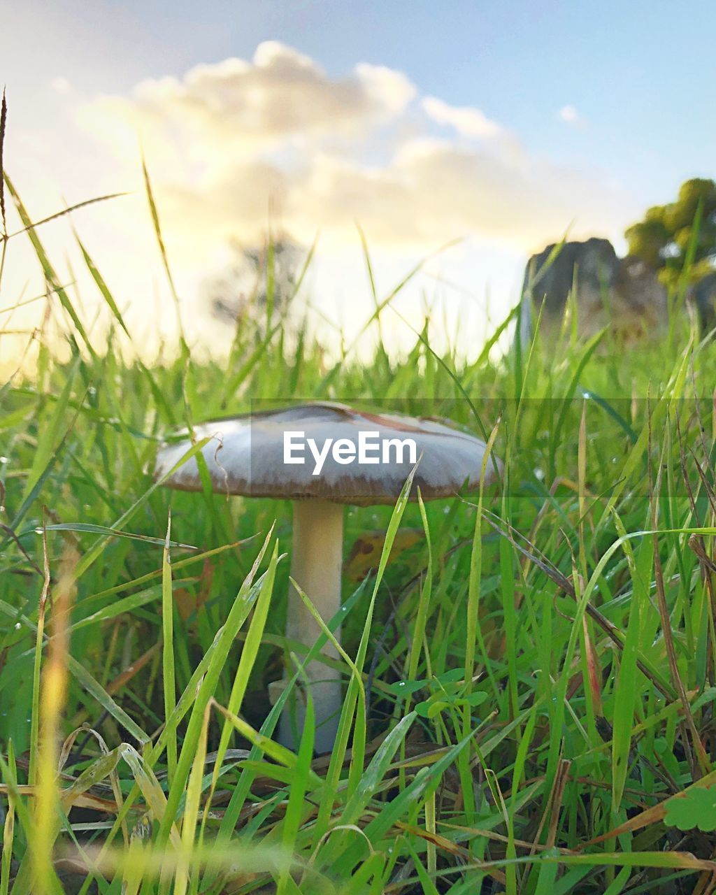 plant, growth, mushroom, vegetable, fungus, grass, land, food, nature, field, green color, beauty in nature, close-up, focus on foreground, day, no people, toadstool, freshness, sky, outdoors, blade of grass, surface level