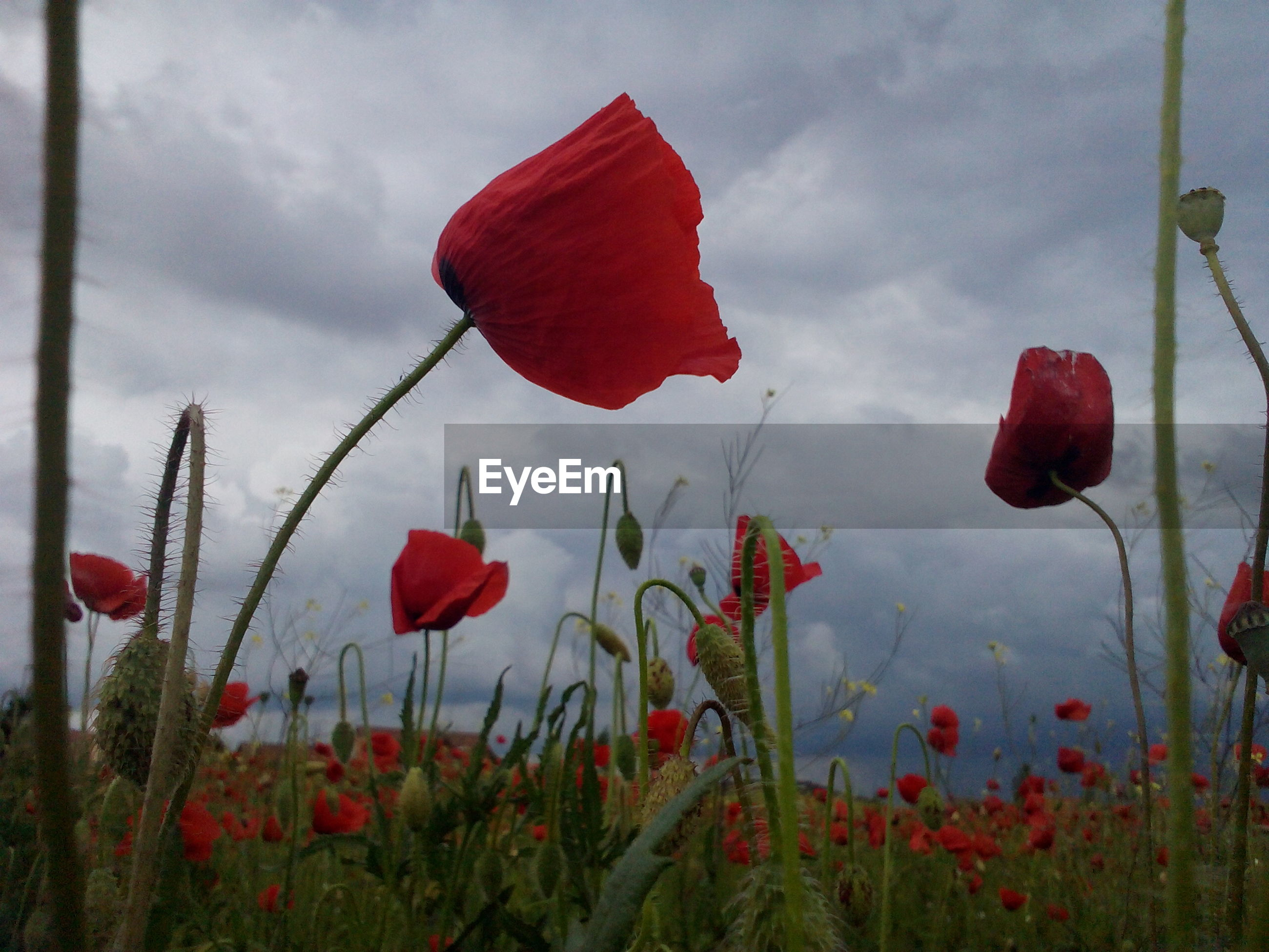 Red poppies blooming on field against cloudy sky