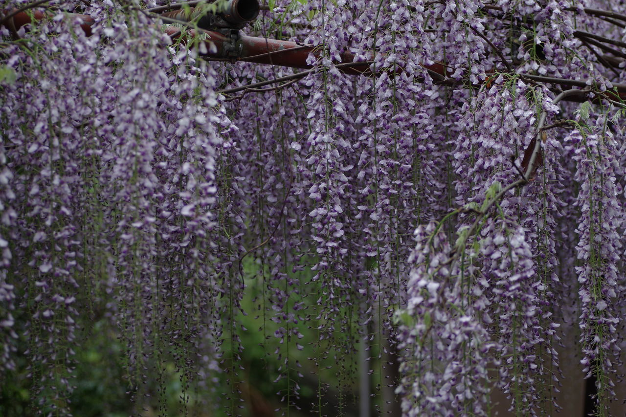 growth, wisteria, flower, purple, nature, beauty in nature, plant, blossom, tree, fragility, no people, day, freshness, outdoors, springtime, hanging, blooming, close-up
