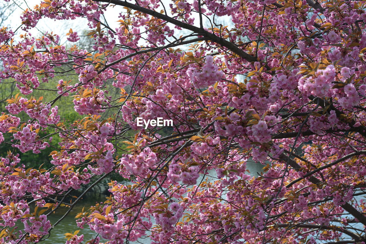 flower, blossom, tree, growth, branch, beauty in nature, fragility, pink color, springtime, freshness, nature, botany, low angle view, no people, petal, backgrounds, full frame, day, outdoors, close-up, flower head