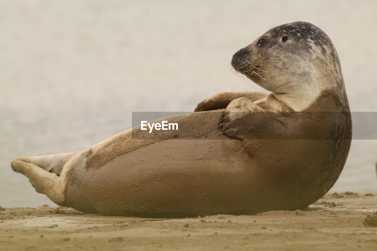 Harbor seal relaxing on beach