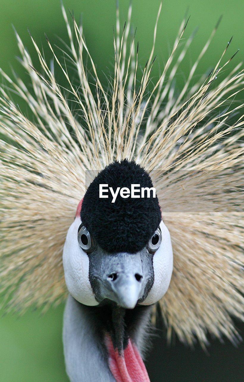Portrait Of Grey Crowned Crane
