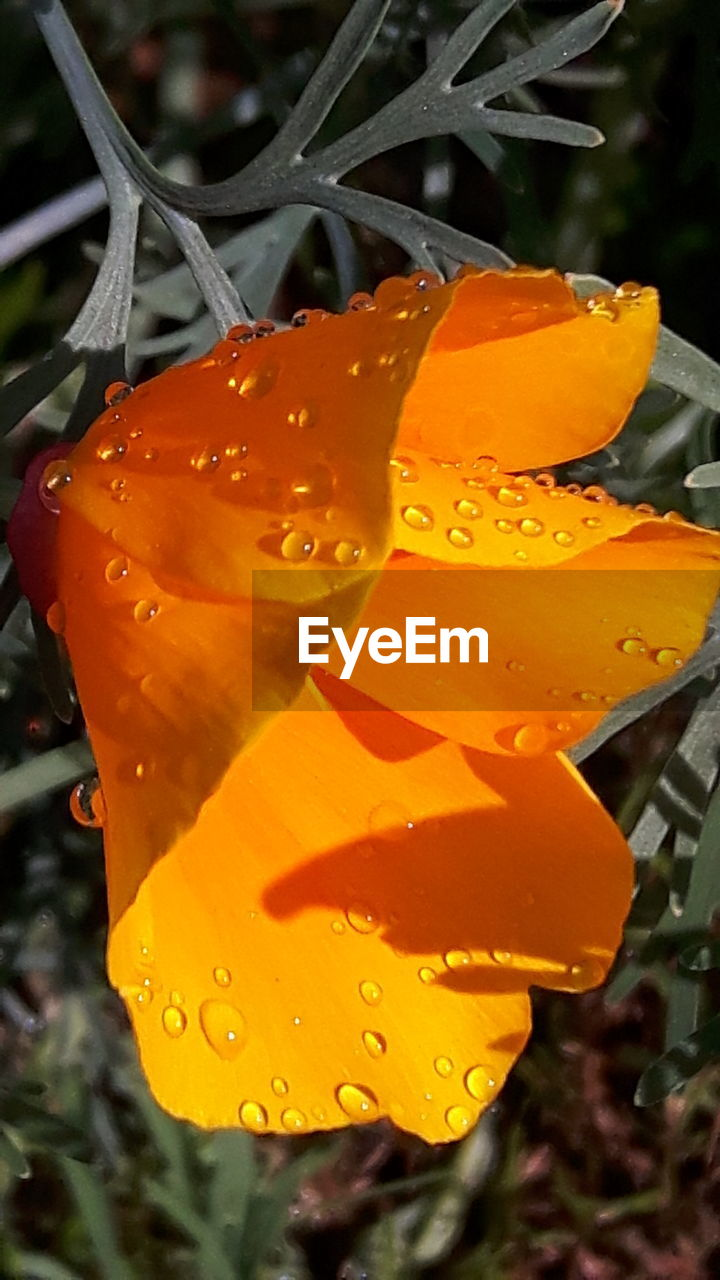drop, orange color, wet, nature, outdoors, close-up, freshness, plant, beauty in nature, fragility, leaf, growth, petal, no people, day, flower, raindrop, focus on foreground, water, blooming, flower head