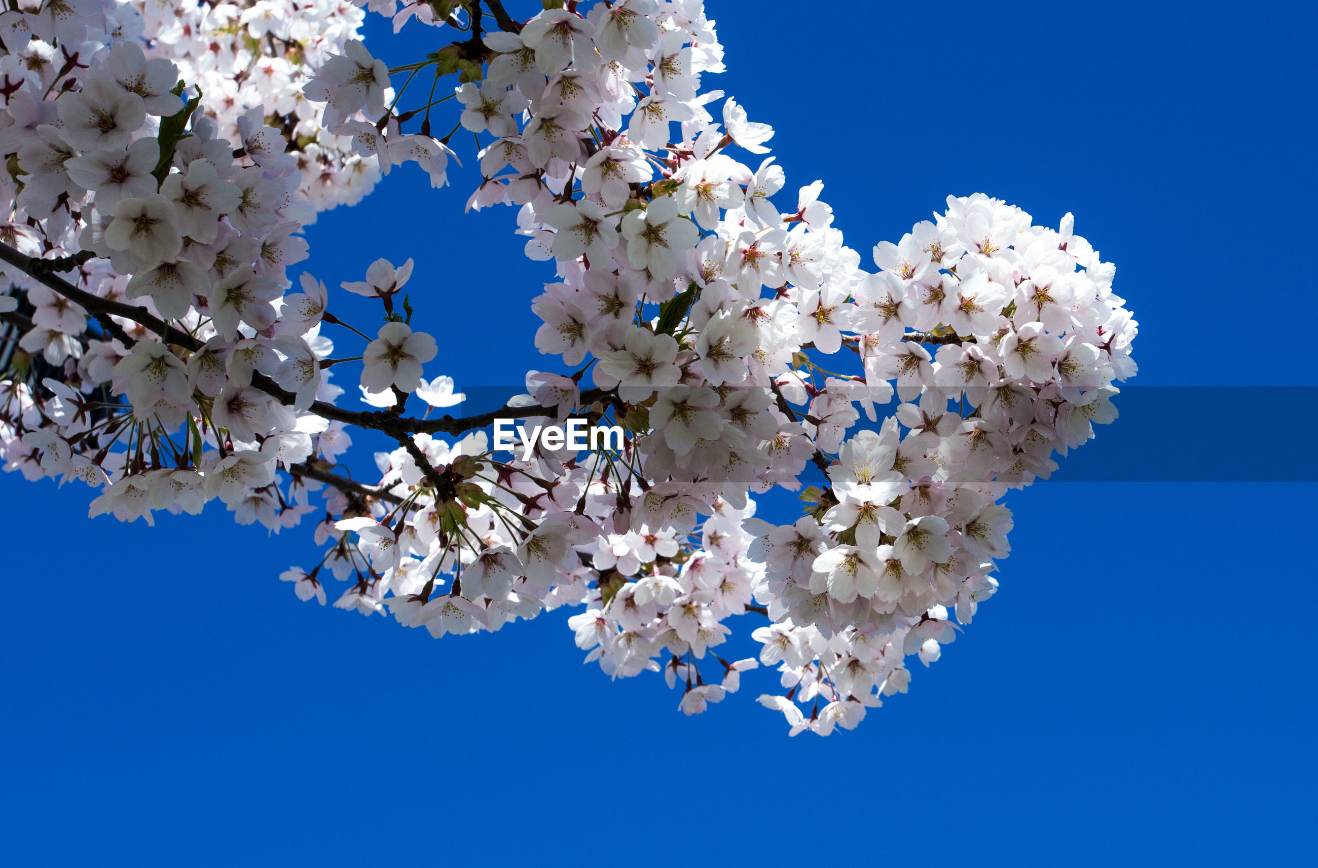 LOW ANGLE VIEW OF WHITE FLOWERS BLOOMING ON TREE AGAINST BLUE SKY
