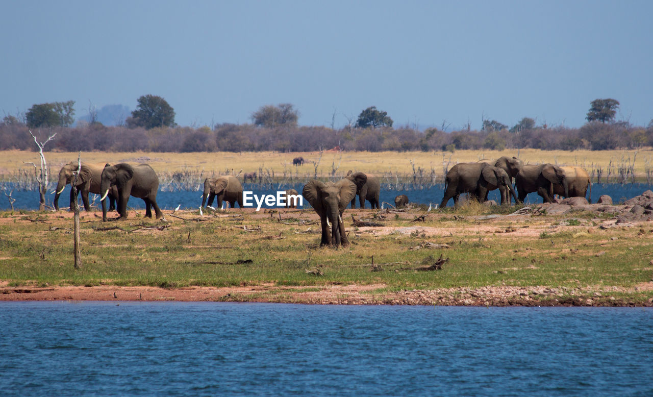 Elephants By Lake Against Clear Sky