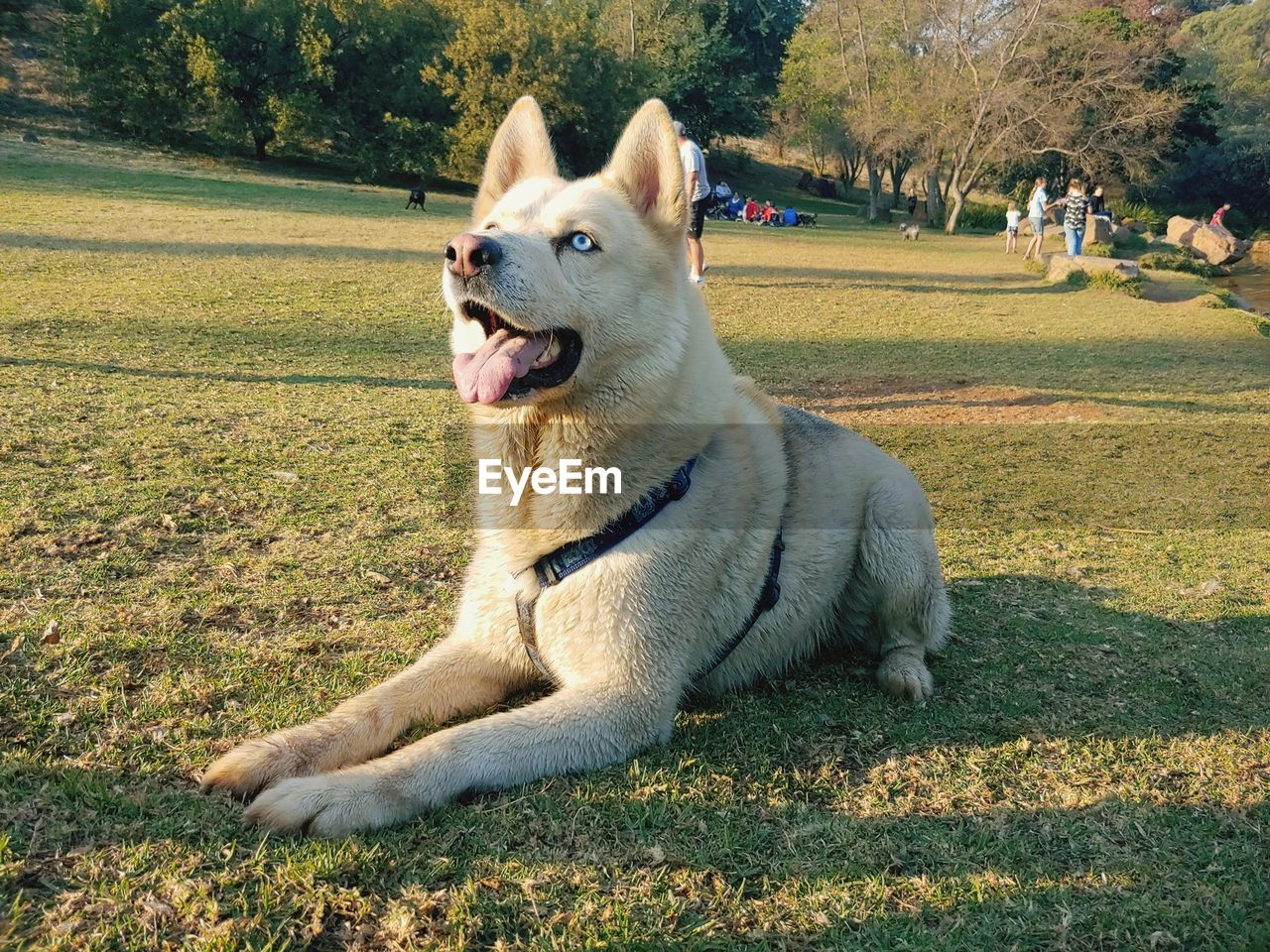 one animal, dog, domestic animals, canine, domestic, pets, animal, mammal, plant, animal themes, grass, vertebrate, nature, field, land, relaxation, day, sunlight, no people, park, mouth open, purebred dog
