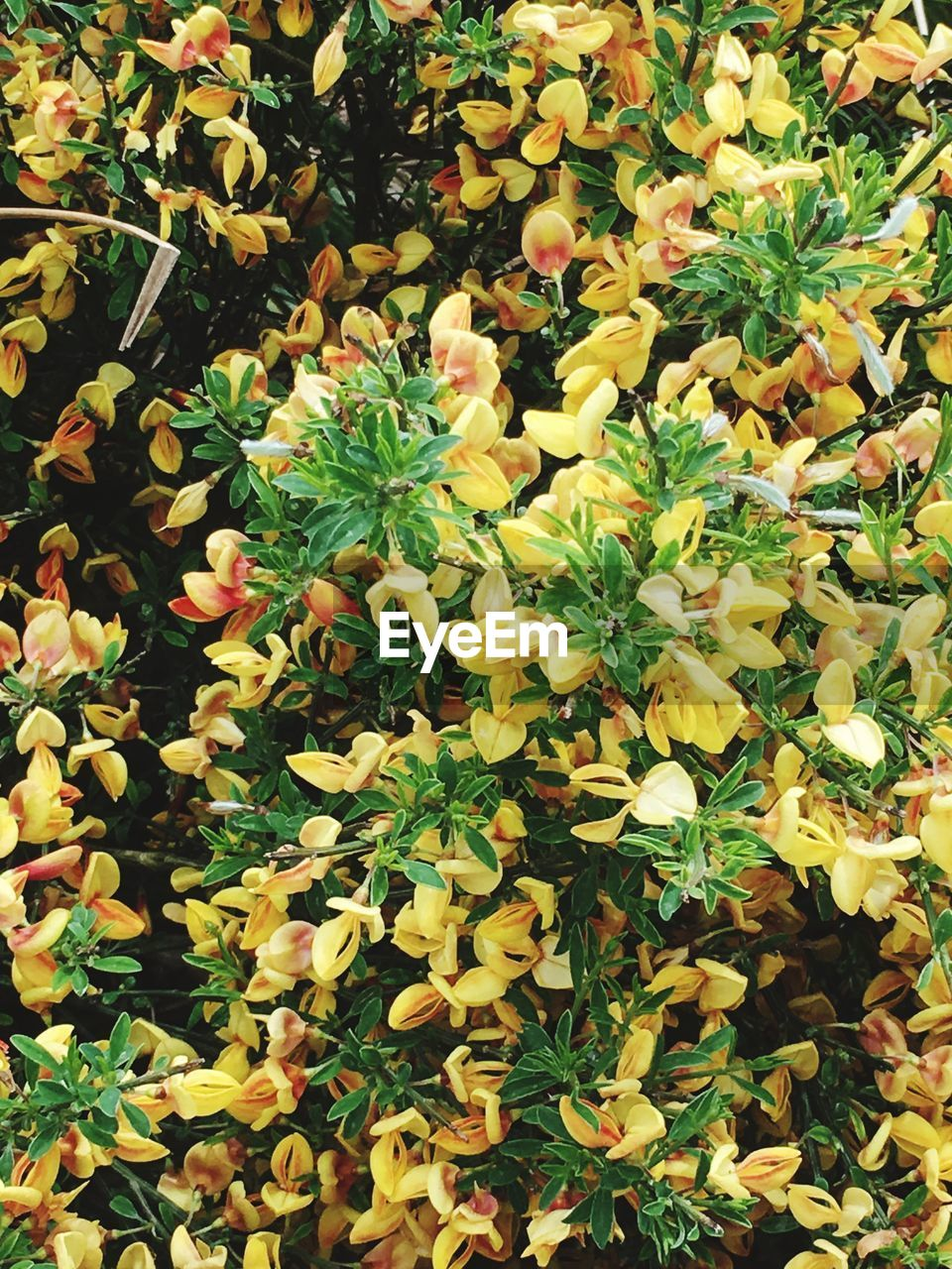 HIGH ANGLE VIEW OF YELLOW FLOWERING PLANT