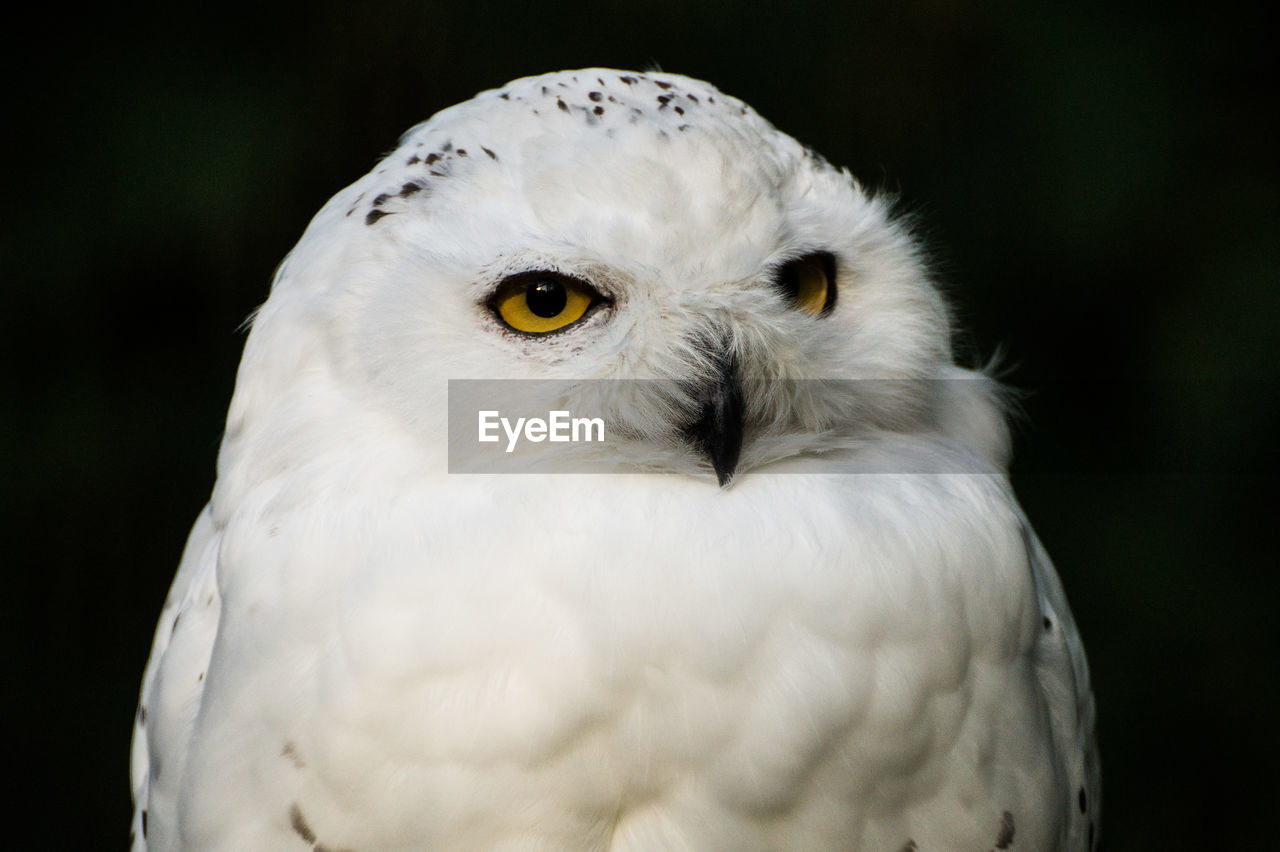Close-up of white owl against black background