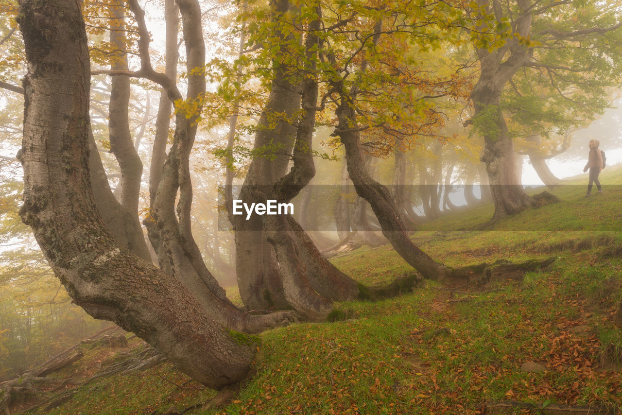 tree, plant, tree trunk, trunk, beauty in nature, nature, land, tranquility, day, forest, branch, tranquil scene, autumn, growth, scenics - nature, outdoors, fog, no people, environment, woodland, change